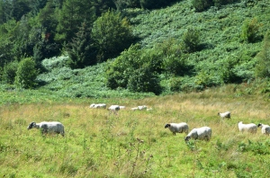 Sheep in the Scottish Borderlands, August 2014. Photo by SEA
